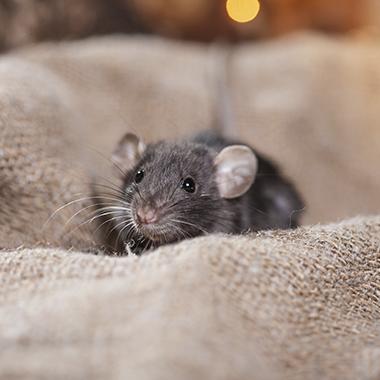 roedores_eliminar