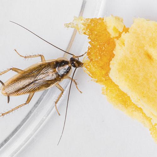 comida-cucaracha-alemana